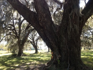The Live Oak Draped with Spanish Moss is a Beautiful Thing