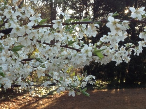 White Blossoms of Fruit Tree